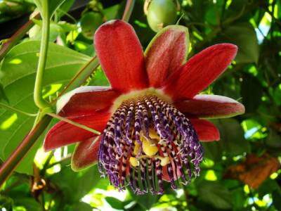b2ap3_thumbnail_passion-fruit-flower-2-1321878.jpg